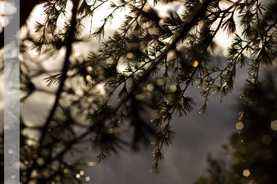 This image makes me feel as though I was in a wintery pine forest but it was taken in my backyard in Spring.